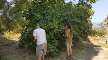 Fig picking in Mystras.